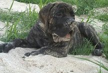 Riverside Mastiffs / by Brandy Kern