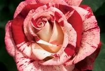 Roses / by Nancy Comee