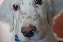 English Setters / English Setters / by Stephen LaDue