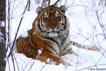 tigers  / by jamie gwynn