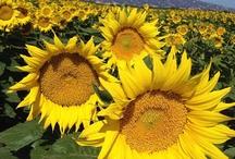 Sunflowers / by Yolo County Visitors Bureau