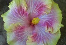 Hibiscus / by Myria Bauer