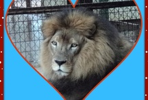 PrideRock Kitties / Pictures of my big cats that we have rescued, some of which we have loved and lost, and all of which make up PrideRock, our non-profit big cat refuge, which is our labor of love and greatest joy and passion. / by PrideRock Wildlife Refuge