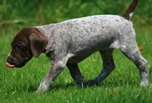 german shorthaired pointer....will have this after college / by Amy Puckett