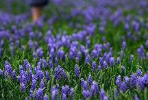 Lavender  / by Cottage Chic
