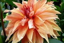 I do love dahlias... / by Denise Emma