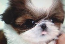 Cute Dog :: Shih Tzu / by Tawny Sanders