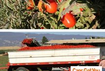 Journey of a Tomato from Farm to Table / by Cans Get You Cooking