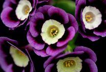 Ahhhh Fleur - Primual Auricula  / by Kat