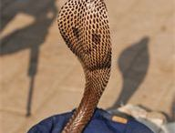 Snake Charmer for Hire / Big Time Entertainment have a selection of Snake Charmers available around the United Kingdom  Snake Charmers make great entertainment and suitable for themed events, weddings, parties etc / by Big Time Entertainment Limited UK
