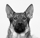 Oh how I love German Shepherds:) / by Charish Paul