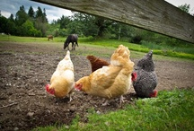 Chickens  / by Sheila Smith