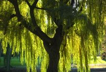 Willows / by Rae Pare