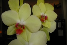 My Orchids / A collection of pictures with my orchid plants and flowers. . . / by Berenice McKinnis