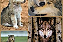 Canines ... Wolves, Dogs, Fox, Coyote  :-) / by Hal Brower