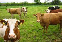 Cows / by Lori C