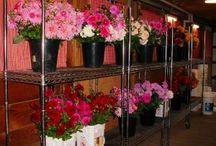 Cut Flowers @ Dahlia Barn / Farm - to - table cut dahlias available late August through mid October at The Dahlia Barn / by Dahlia Barn