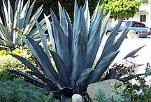 Succulents/Low Water Plants / Interesting succulent and low water use plants for the landscape. / by West Coast Grounds Maintenance