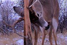 Deer Hunting Tips / by Deer & Deer Hunting
