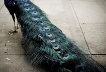 peacock / by Rebekkah Smith Aldrich