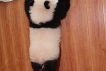 {pandas} / by Jana Chang