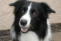 {GROUP} Border Collies - Best Dog Breed Ever! / Group board for Border Collies. Pin your best: 1 or 2 pins per person per day MAX. NO rescue dogs. NO breeders. NO Etsy or other blatantly commercial pins. / by We Love Dogs ♥ Guide Dogs Worldwide ♥