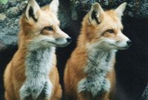 Fauna .. FOX  and craft / by Susan Wilson