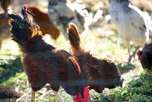 Raising Chickens / by Heartland Farm