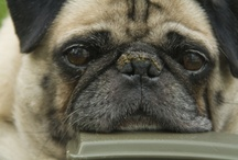 Pugs / by Jaymie Zapata