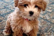 My future puppy :) / I've been wanting a girl maltipoo with tan, curlyish fur for a while now... Just gotta save up enough money :) / by Ashlyn Hall