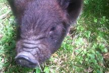 Yard Pig / raising a pig in the suburbs  / by Mike Pomeroy