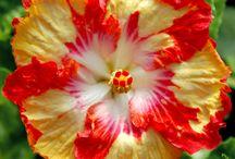 Hibiscus / by Roxanna Cortez