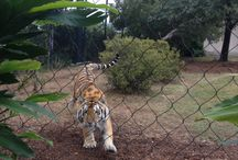 Mike The Tiger VI / LSU'S Mike VI, my favorite Tiger / by Lillie Ray Levy