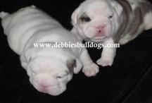 Our New Bulldog Puppies / Our New Bulldog Puppies / by Debbie Butler