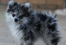 Pomeranians are Awesome! / by Michelle Lord-Shields