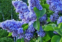My Mom's Lilac Tree / This Board Is Dedicated To My Mom, Who Had The Most Beautiful Lilac Bush In Our Yard and When I Got Married and Moved Out, I Took A Clipping Off Of It and Started A New Tree, That's Now In Our Own Yard.                                                                                                                                                    Rest In Peace Mom, I Love You  / by Susan Robbins Mauriello