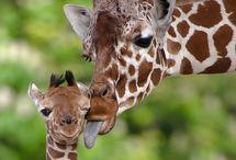 Giraffes and the like / by Teresa Pierce