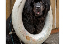 Newfie Luv / Newfoundlands get their own board because they will always have a special place in my heart.  / by Shabby Elf