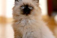 Rag Doll Cat / by Lisa Janker Santiago