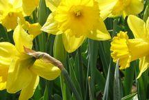 Daffodils  / by Galvea Kelly