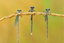 dragonflies / by paula bessette