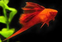 Swordtails / Male Swordtails have an extension on their tails that actually looks like a sword. Swordtails are available in many beautiful colors and have been a favorite among aquarists for a long time. To see more click on ... http://www.AquariumFish.net/catalog_pages/livebearer_swords/swordtail_table.htm#swordtails / by AquariumFish .net