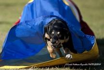 dog agility / by Rachel Helmreich