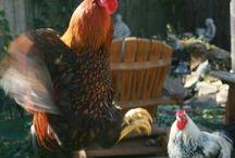 chickens / by Amanda Ann