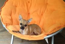 Cute Chihuahuas / All chihuahuas are cute as far as I am concerned ... / by Chihuahua Haven Inc