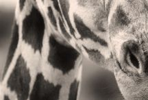 Koalas/Giraffes/Elephants/Zebras / by Shawnelle DeWaal