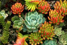 ~Sedums & Succulents~ / by Marla Corson
