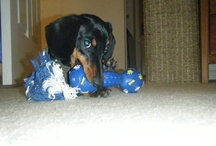 dachshunds / dachshunds ...I love em.  always will.   Proof that God has a sense of humor. / by Dee Whitehead
