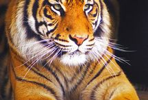 Magnificent tiger / by Mita Block