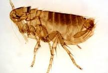 UNDERSTANDING FLEAS / The first step in preventing or getting rid of fleas is to understand these little critters. The more you know about them, the more capable you will be to set up the proper line of defense.  / by VetShopMax.Com